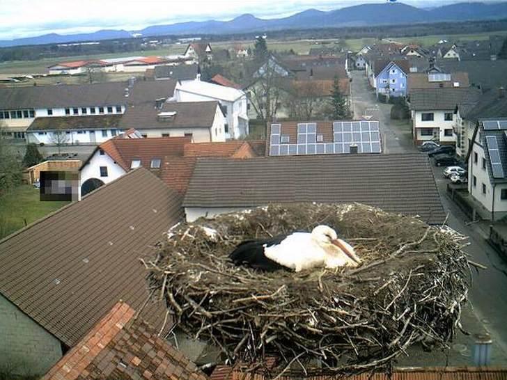 Уеб камера с щъркели, Германия